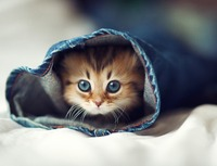 Supposed_cutest_kitten_in_the_world